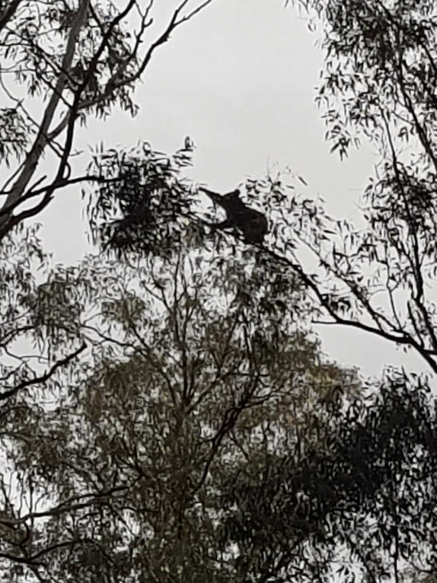 Koala I