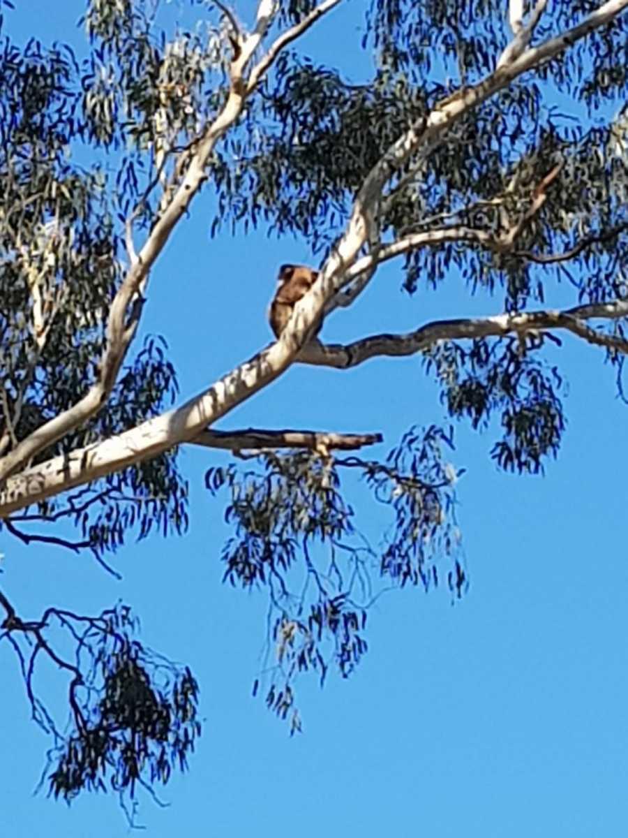 Koala III