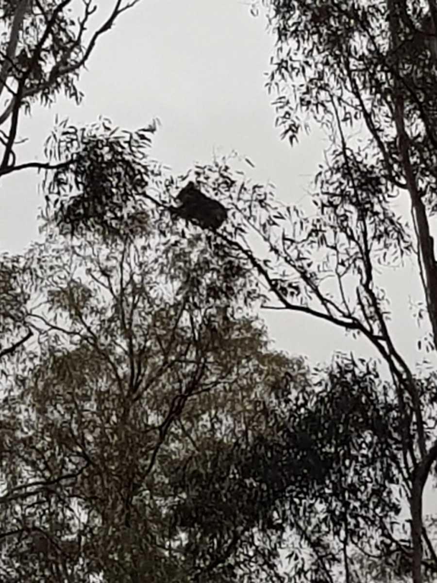Koala IV