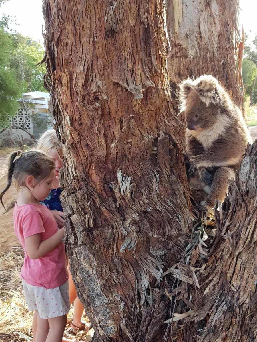 Koala V